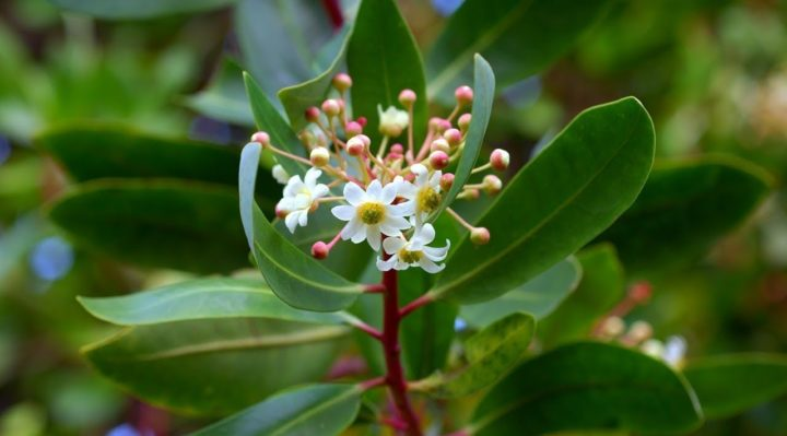 Catuaba Planta